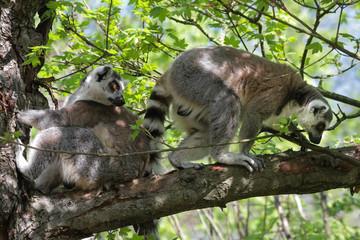 Portrait Katta - Lemur Catta - Zwei Tiere im Baum