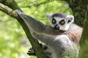 Portrait Katta - Lemur Catta - hängt im Baum