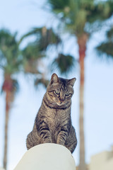 Curious cat sitting on stone fence and  looking down. Cat on a palm tree background