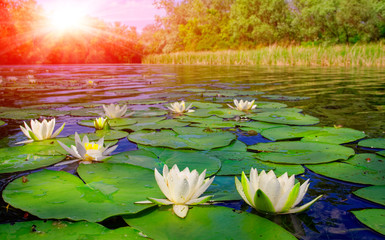Keuken foto achterwand Waterlelies water lily on lake
