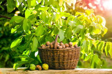 walnut harvest in a basket by the tree in the garden on the table