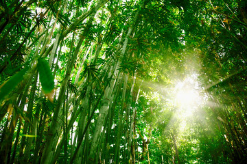 Photo sur cadre textile Bambou Beautiful wild landscape of bamboo forest in the morning sun light