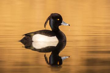 Fototapeta Male Tufted duck, Aythya fuligula, closeup obraz