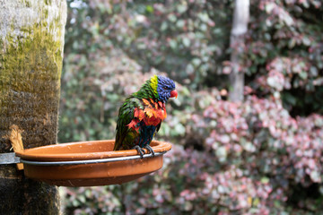 Wet Loriini bird after taking a bath in a bowl
