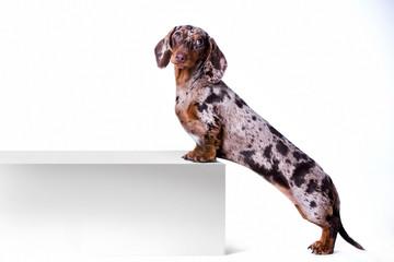 Dog dachshund with blank billboard. Dog above banner or sign. Dachshund dog portrait over white background