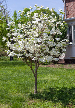 Young blooming spring dogwood tree in residential front yard.