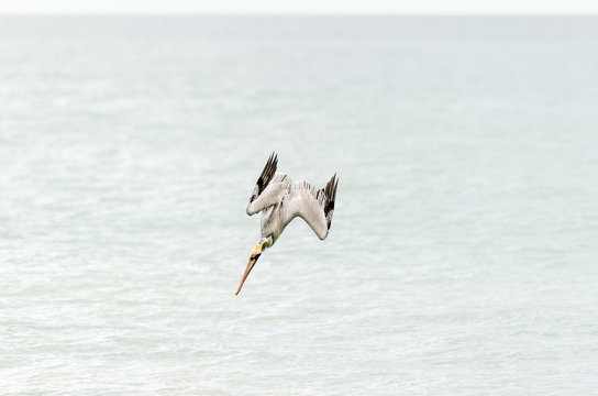 Pelican Diving Flying