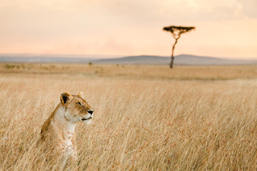 A single female lion looks over the savanna of Massai Mara, Kenya