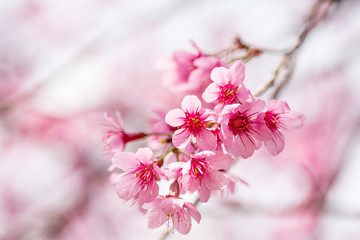 Papiers peints Fleur de cerisier Pink cherry blossom, beautiful flowers in spring season