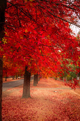 Autocollant pour porte Rouge traffic Beautiful Trees in Autumn Lining Streets of Town