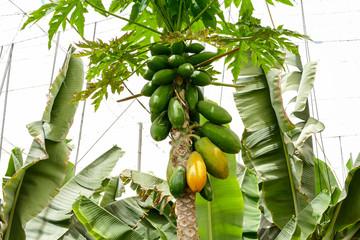 Papaya Plantation Field Papaya tree