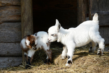 white goat kid standing on straw in front of shed