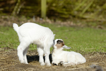 white goat kids  on pasture