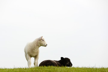 black sheep and white lamb  on pasture