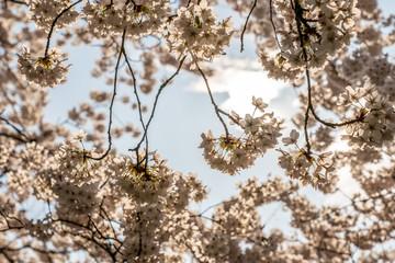 White Cherry blossoms in Frankfurt, Hesse, Germany, Europe