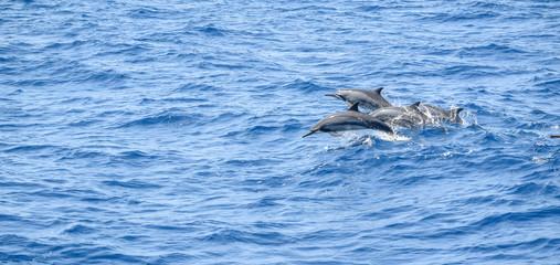 Foto auf Acrylglas Delphin oceanic dolphins