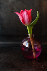 Still life with a single red tulip in a glass vase