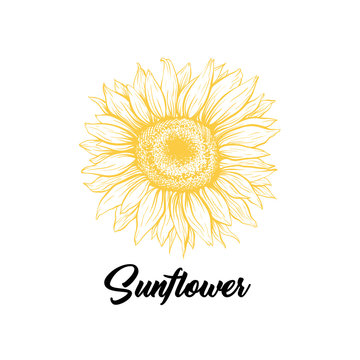 Sunflower yellow blooming sketch illustration. Summer flower with black calligraphy. Helianthus outline logo drawing. Floral, botanical isolated clipart. Eco farming logotype design vector idea