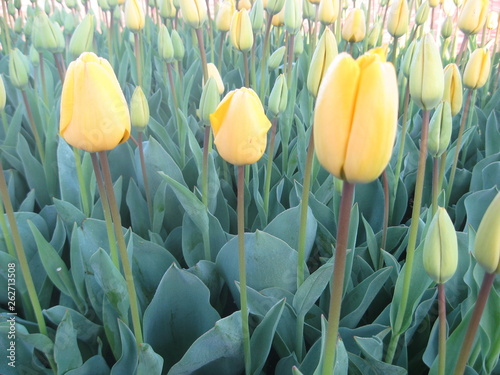 Yellow Tulip Flower Blossom in Early Spring with Flower and