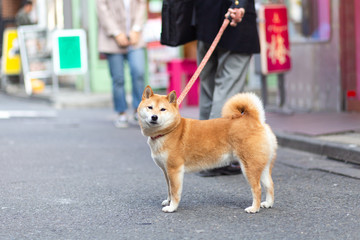 Shiba Inu Walking on Street