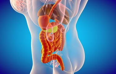 Anatomy of female digestive system