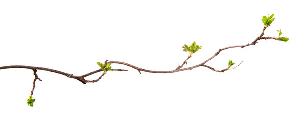 A branch of currant bush with young leaves on an isolated white background.