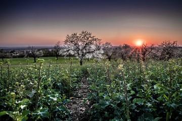 wieczór w dzikim ogrodzie z kwitnącą czereśnią