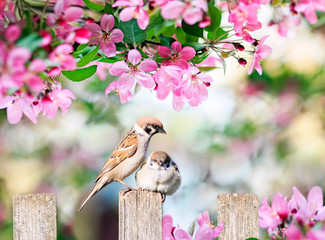 Printed roller blinds Bird beautiful natural background with a bird sparrow with a little chick sitting on a wooden fence in a rustic garden in o winding pink apple flowers on a sunny day in spring