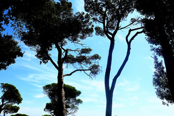 Mediterranean stone pines against a blue sky, natural background