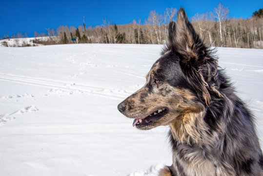 Grey and Black Cattle Dog German Shepherd Border Collie Mix Rescue Dog Poses for A Portrait in the Snow on a Spring Hike (Aspen, Colorado)