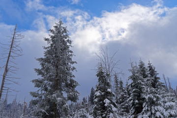 Pine trees in winter against cloudy sky