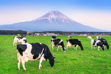Cows eating lush grass on the green field in front of Fuji mountain, Japan. Wall mural
