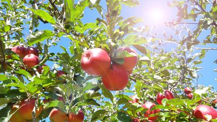 Ripe apple tree branch