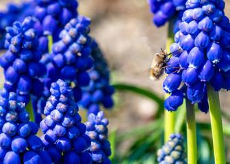 owad bujanka większa zwana koliberkiem na kwiatach