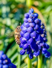 pszczoła na kwiatku szafirku