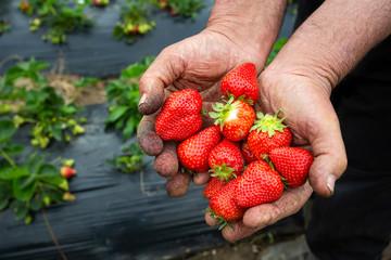 Organic, fresh fruit strawberry Field (Emiralem / Izmir / Turkey)