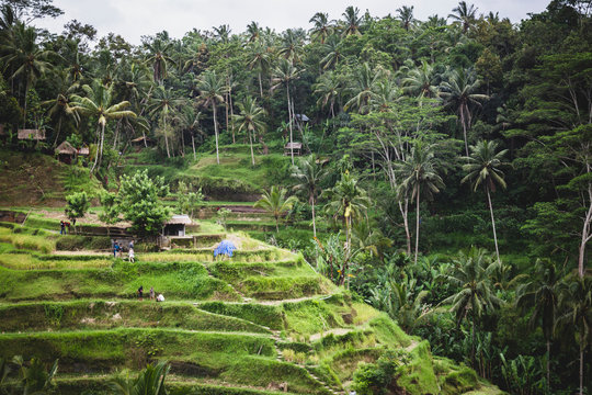 Tegallalang Rice Terraces in Bali, Indonesia