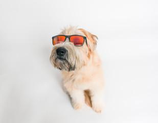 Wheaten terrier dog against white background wearing sunglasses.