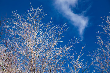 trees in winter against blue ky