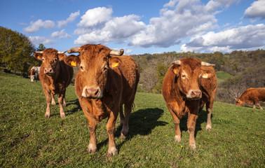 Allassac (Corrèze - France) - Vaches limousines dans leur paturage