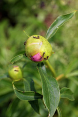 Ant Infestation Covering Peony Flower Buds in Spring