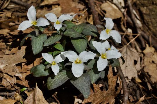 White snow trillium native wildflowers in their natural woodland habitat