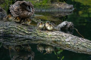 Ente mit Küken auf  Ast im Wasser