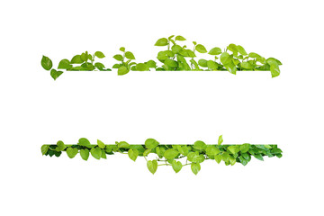 Wall Mural - Green leaves nature frame border of devil's ivy or golden pothos the tropical foliage plant on white background.