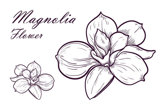 Vector Illustration of beautiful magnolia, drawing spring flower isolated on white background