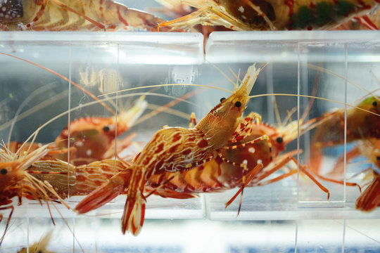 Live shrimp in a tank at a korean restaurant