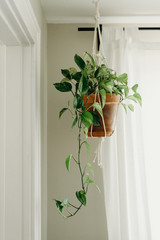 House Plant Hanging by a Window