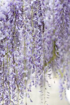 Wisteria violet flowers