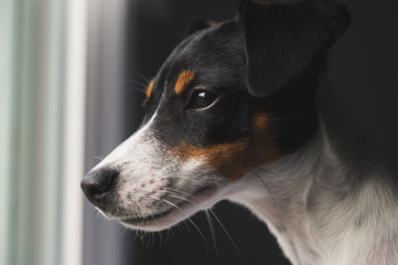 Tricolor Jack Russell Terrier looking out the window