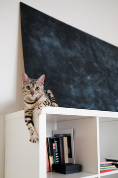 cat bengal sits on a bookshelf and looks at the camera